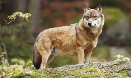 Un loup  détecté à Saint-Pierre-de-Bœuf, à 25 kilomètres de Vienne…