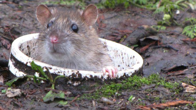 Ne vous inquiétez pas si vous voyez des rats sortir des égouts, c'est normal…