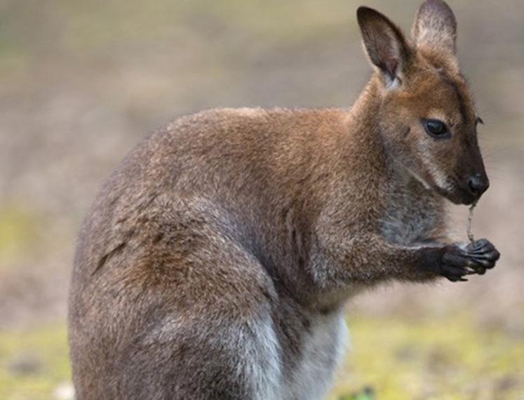 Evadé du zoo de Saint-Martin-la-Plaine: le Wallaby fugueur retrouvé après 7 semaines d'errance