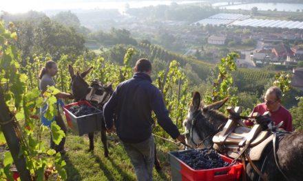 Vendanges 2018: les viticulteurs locaux recrutent