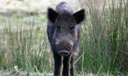 La Ligue de Protection des Oiseaux de l'Isère s'oppose à l'ouverture anticipée de la chasse cet été