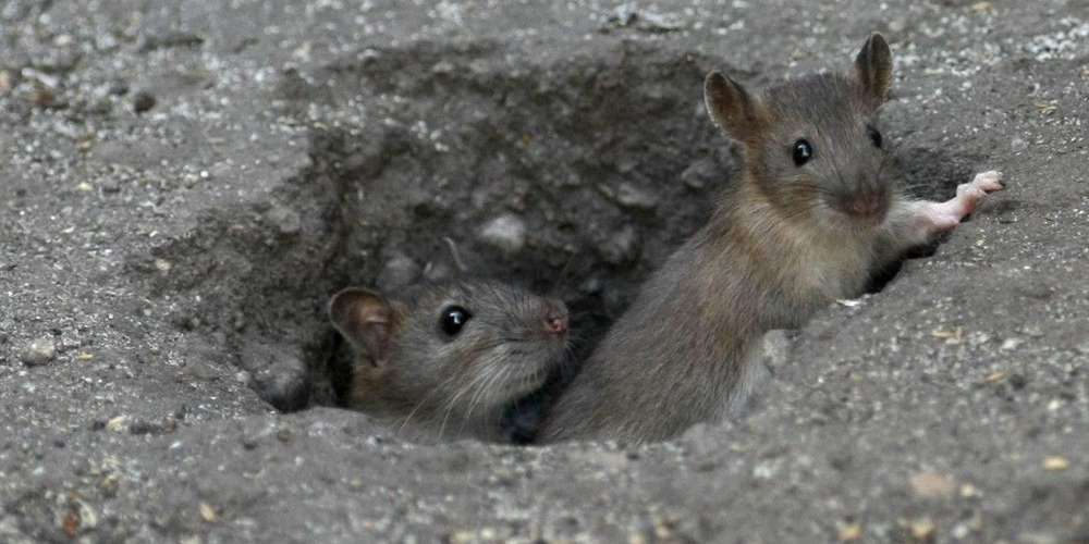 Dératisation: ne vous inquiétez pas si vous apercevez des rats dans les rues de Vienne…