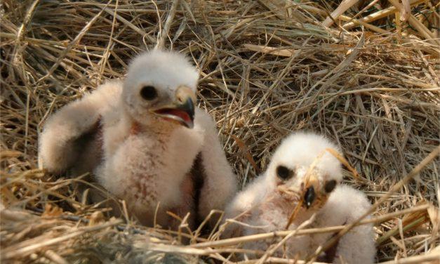 Biodiversité, ce week-end :  vous pouvez aider à sauver le Busard cendré en Isère…