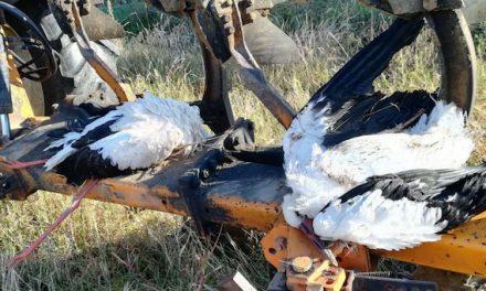 Deux cigognes blanches retrouvées mortes :  électrocutées par des pylônes électriques aux Côtes d'Arey