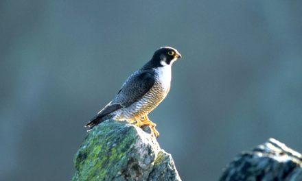 Pendant le confinement les animaux ont pris leurs aises : la Ligue de Protection des Oiseaux  appelle à la vigilance