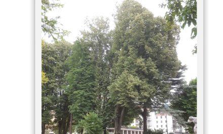 Mort annoncée du tilleul argenté plus que centenaire du Jardin de Ville à Vienne