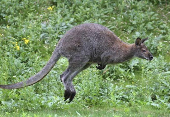 Attention si vous circulez en voiture près d'Eyzin-Pinet ou Meyssiez : un wallaby a été aperçu en liberté