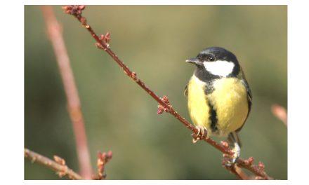 Coucous, mésanges, alouettes, etc : toujours moins d'oiseaux communs en Isère…