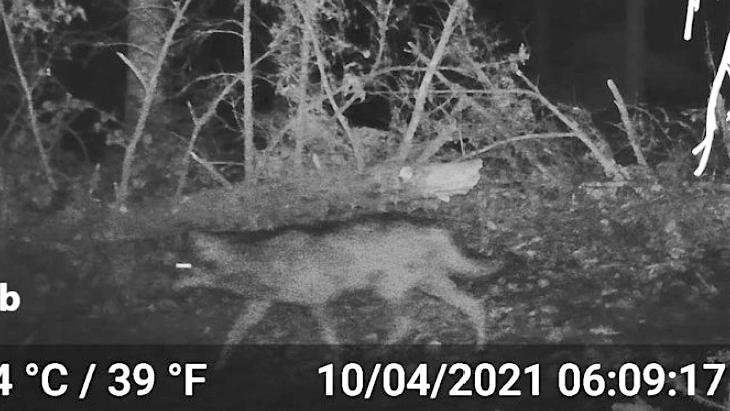 Pour la 1ère fois depuis un siècle, un loup identifié dans le département du Rhône…